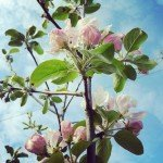 Brambletye: Apple blossoms