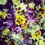 Brambletye: Edible flowers