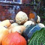 Brambletye: Palace robin checking out the produce